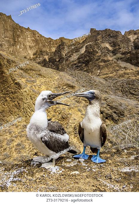 Blue-footed boobies (Sula nebouxii), juvenile and adult, Punta Pitt, San Cristobal or Chatham Island, Galapagos, Ecuador