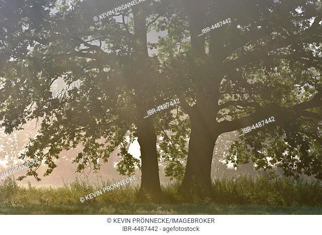 English oak (Quercus robur), early morning light, meadow landscape, Middle Elbe Biosphere Reserve, Saxony-Anhalt, Germany