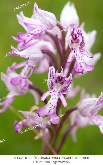 Military Orchid - Orchis Militaris -, Naturel Parc de la Chartreuse, Savoie, Rhône-Alpes, France
