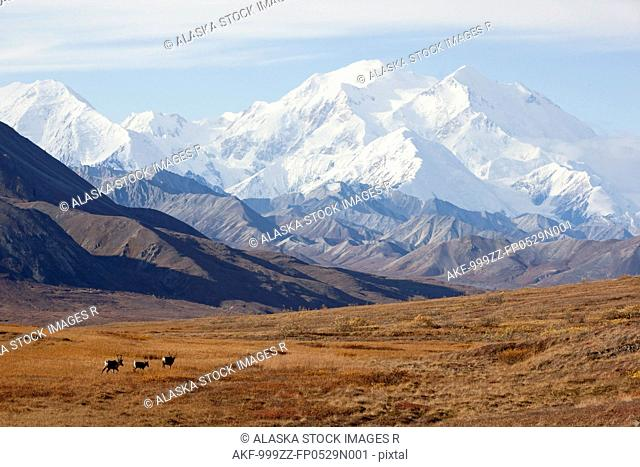 Three caribou run thru the tundra with Mt. McKinley looming in the background, Denali National Park and Preserve, Interior Alaska, Autumn