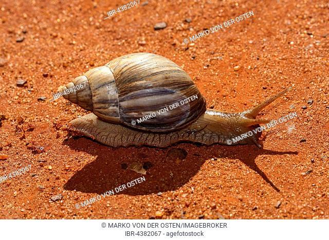 Agate snail (Achatina fulica), Ankarafantsika National Park, Madagascar