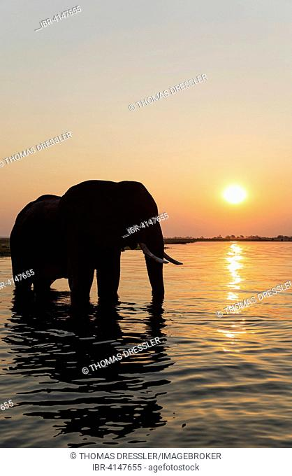 African Elephant (Loxodonta africana), bull at sunset in the Chobe River, Chobe National Park, Botswana