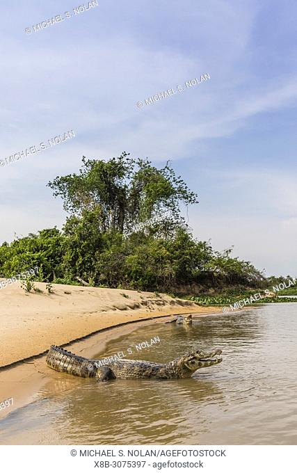 Two adult yacare caimans, Caiman yacare, on the riverbank near Porto Jofre, Brazil