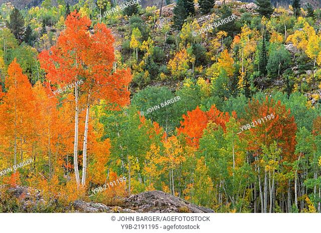Autumn aspen groves displaying a wide variety of colors, San Juan National Forest, southwest Colorado, USA