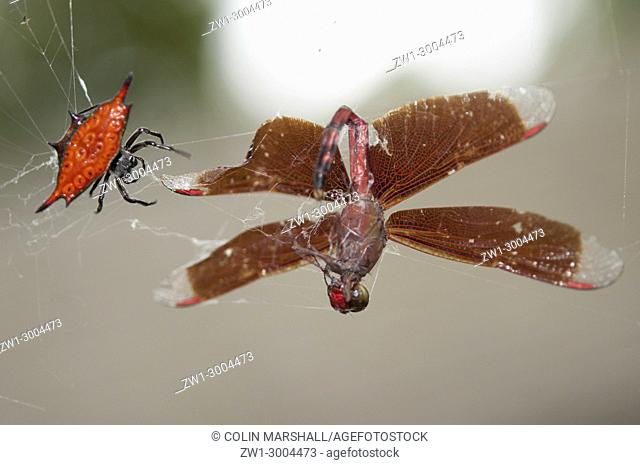 Crablike Spiny Orbweaver Spider (Gasteracantha cancriformis), on web with dead Indonesian Red-winged Dragonfly (Neurothemis terminata), Klungkung, Bali