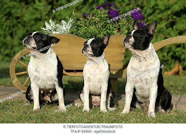 3 Boston Terrier