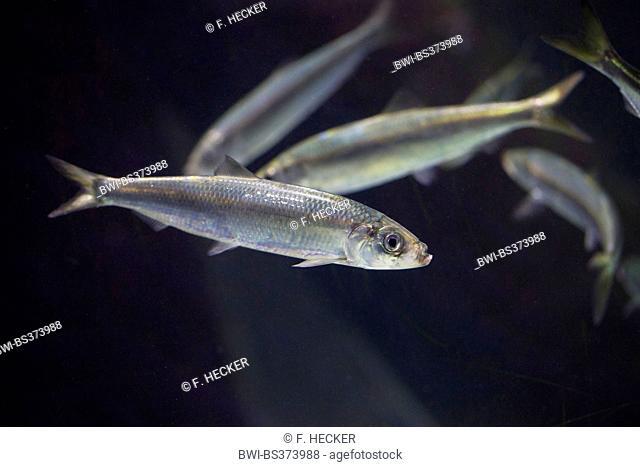 herring, Atlantic herring (Clupea harengus), swimming young herring in a school of fish