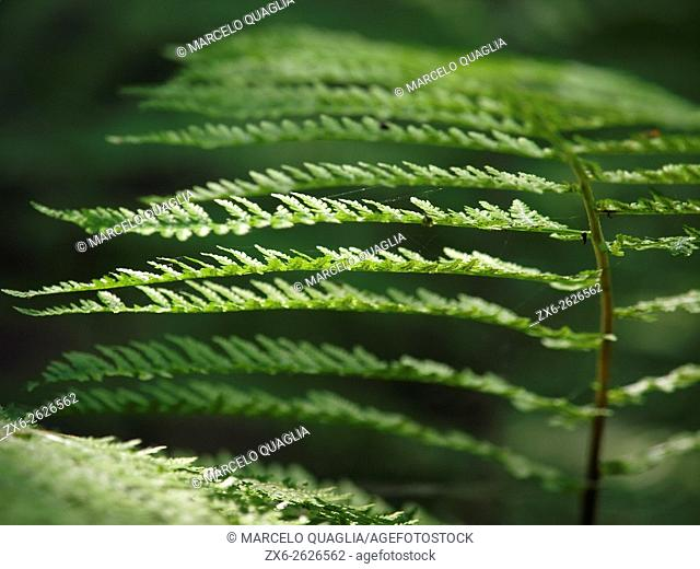 Common bracken or fern (Pteridium aquilinum), detail. Montseny Natural Park. Barcelona province, Catalonia, Spain