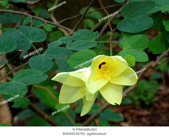 Yellow Bell Bauhinia, Yellow Bauhinia (Bauhinia tomentosa), flowers