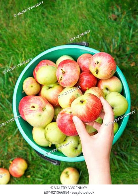 girl collects ripe apples in bucket in garden