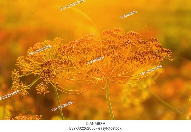 Stems and umbel inflorescence with seeds of dill at sunset