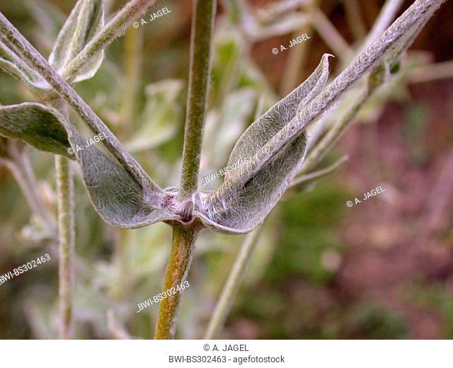 Rose Campion, Crown Pink, Mullein pink, Dusty Miller (Lychnis coronaria, Silene coronaria), leaves