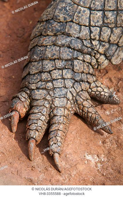 Hand detail crocodile in Bandia Park, Senegal, Nguekhok