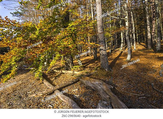 autumn colors of a beech forest, Mont Sainte-Odile, in German Odilienberg, peak in the Vosges Mountains, Alsace, France