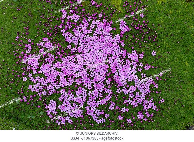 Cushion Pink, Moss Campion (Silene acaulis). Flowering plant seen from above. Svalbard
