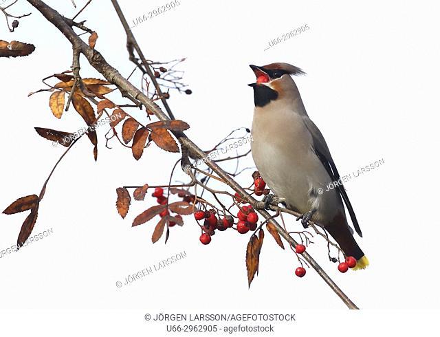 Waxwing and rowanberry, Gnesta, Sweden