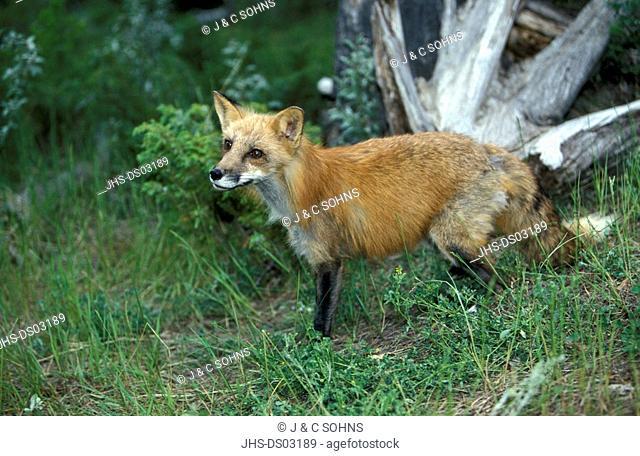 American Red Fox,Vulpus fulva,Montana,USA,adult male