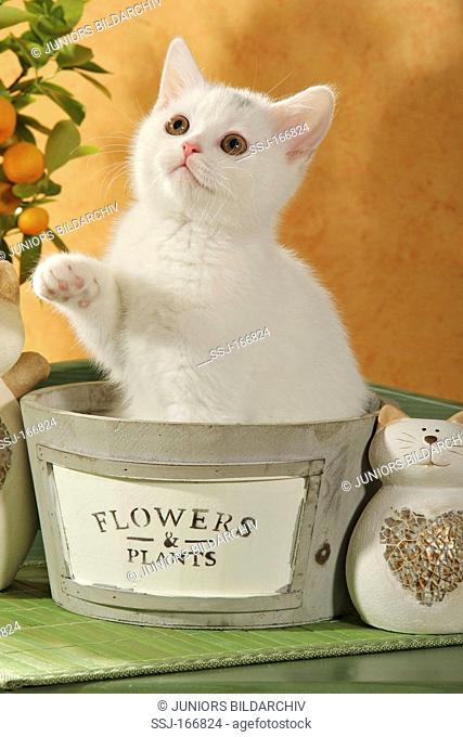 British Shorthair kitten in flowerpot