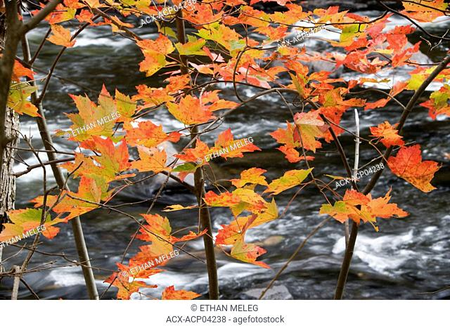 Maple leaves show their fall colours against a backdrop of the Oxtongue River, Algonquin Provincial Park, Ontario, Canada