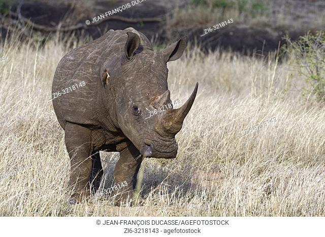 White rhinoceros (Ceratotherium simum), standing adult male, feeding on dry grass, with a perched red-billed oxpecker (Buphagus erythrorhynchus)