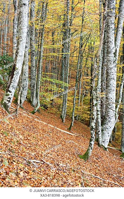 Forest at autumn, Selva de Irati, Navarra Pyrenees, Spain