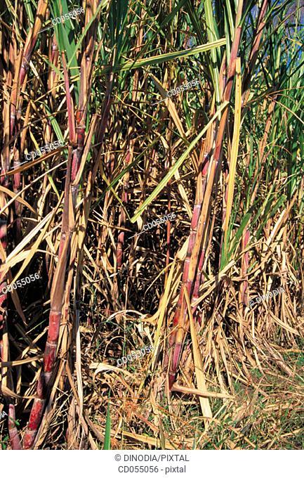 Sugar cane. Nashik. Maharashtra. India