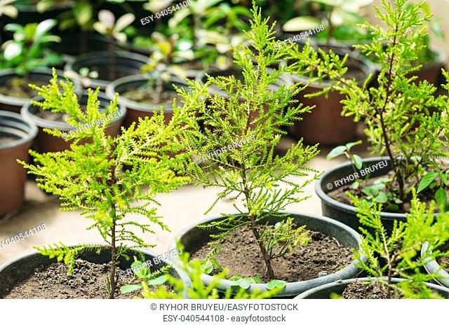 Small Green Sprouts Of Spruce Or Fir-tree Tree Plant With Leaf, Leaves Growing From Soil In Pots In Greenhouse Or Hothouse
