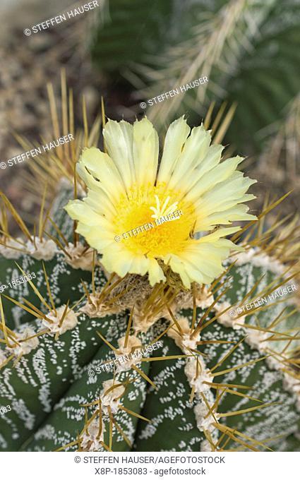 Bishop's cap cactus Astrophytum ornatum
