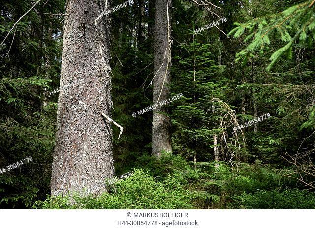 Jura, Etang, Etang de la Gruère, Sphagno-Piceetum, spruce forest, tree, trunk, trunk, wood, natural wood, Picea abies
