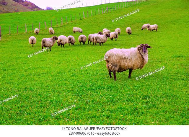 Latxa sheep in Pyrenees of Navarra grazing in meadow at Spain