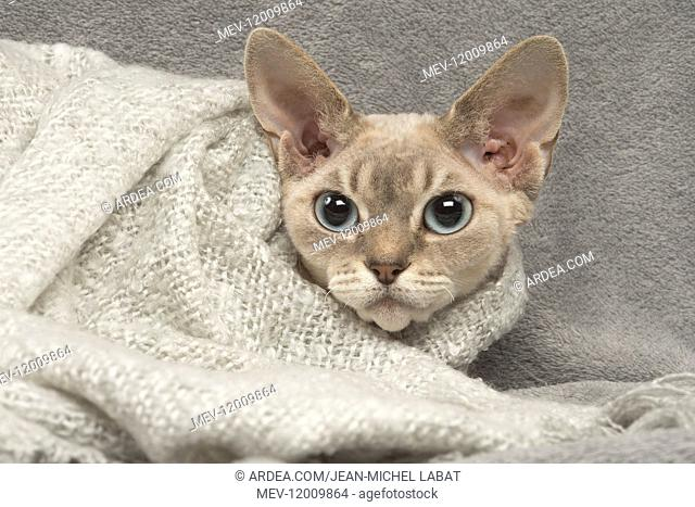 Devon Rex kitten indoors