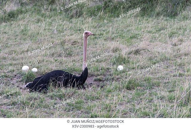 Incubating male ostrich putting. Struthio camelus. Masai Mara NP