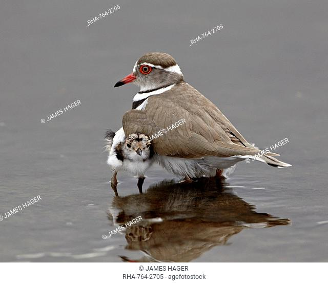 Three-banded plover Charadrius tricollaris adult and chick, Kruger National Park, South Africa, Africa