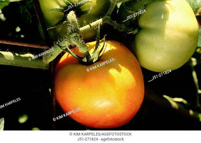 Green and ripening tomatoes on vine. Organic farm.  Illinois. USA