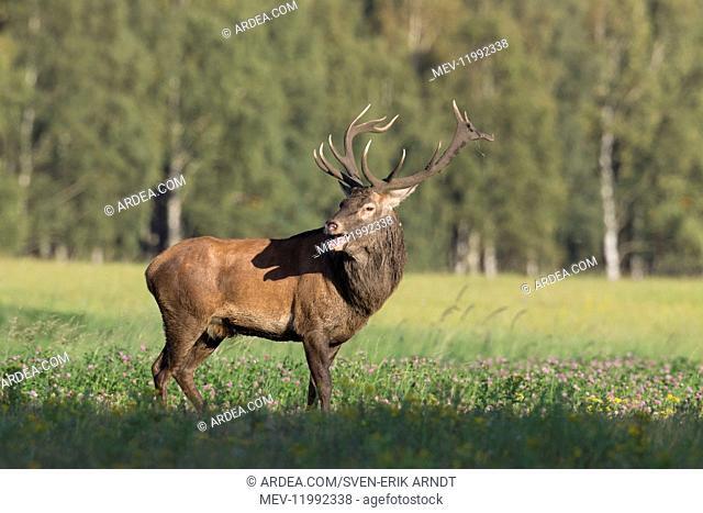 Red Deer - stag during rutting season in autumn - Skane, Sweden