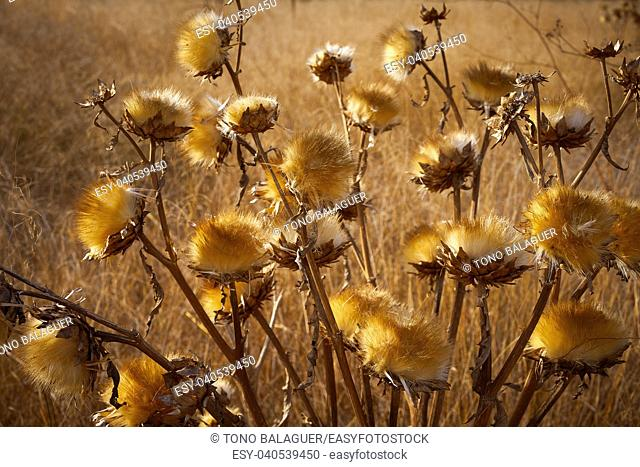 Dried thistle plant in golden meadow at mediterranean
