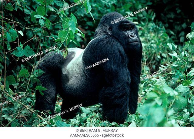 Mountain Gorilla, Silverback (Gorilla g. beringei) male. Bukima group, Virgunga NP