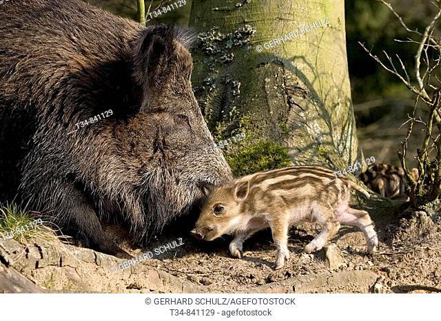 Wild Boar (Sus scrofa) with piglet, Schleswig-Holstein, Germany