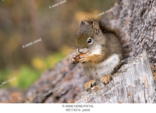 Squirrel eating a fir cone in Banff National Park,Alberta,Canada