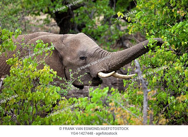 African Elephant Loxodonta africana  Vulnerable species   Feeding on fresh Mopani leaves during spring   Mashatu Game Reserve  Tuli block