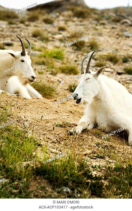A Mountain Goat appears to be laughing
