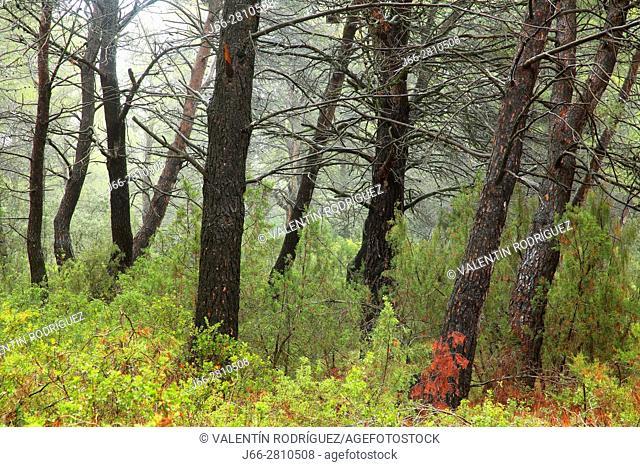 Pine forest after rain in Titaguas. Los Serranos region. Valencia