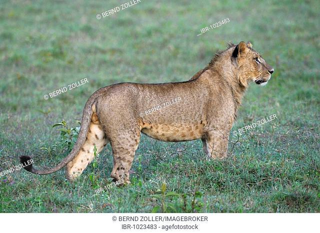 Lion (Panthera leo), Lake Nakuru, national park, Kenya, East Africa