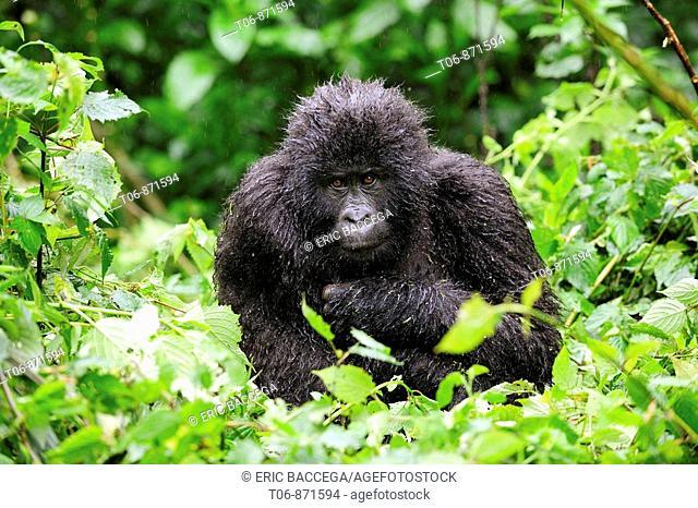 Juvenile mountain gorilla in the rain  (Gorilla beringei beringei) Volcanoes National Park, Rwanda, Africa