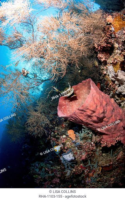 Reef with azure vase sponge and pennant bannerfish Heniochus chrysostomus, Sulawesi, Indonesia, Southeast Asia, Asia
