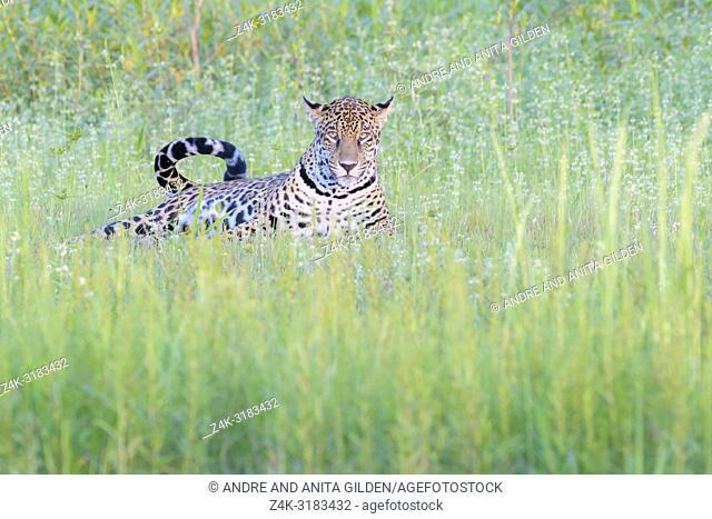 Jaguar (Panthera onca) lying down in wetland, looking at camera, Pantanal, Mato Grosso, Brazil