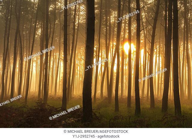 Pine Forest on misty morning at sunrise, Hesse, Germany, Europe