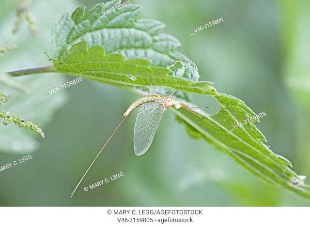 Drake Mackerel Mayfly, Ephemera vulgata. Newly emerged transparent mayfly. Mayflies are particularly sensitive to acidification