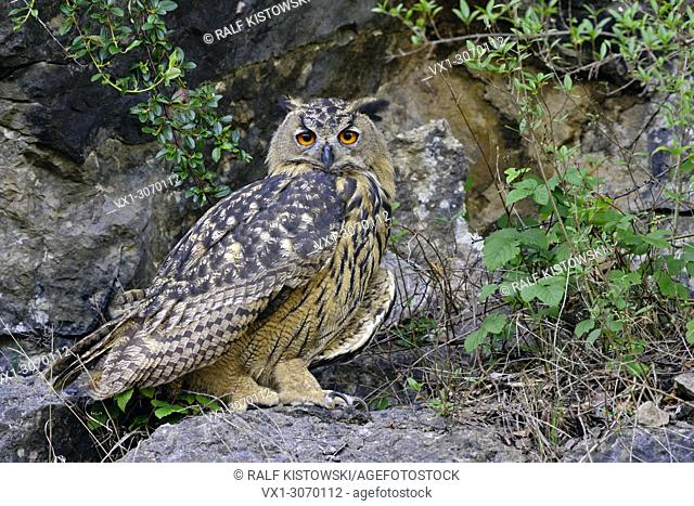 Eurasian Eagle Owl ( Bubo bubo ) perched on a rock in an old quarry, full body, length, side view, wildlife, Europe