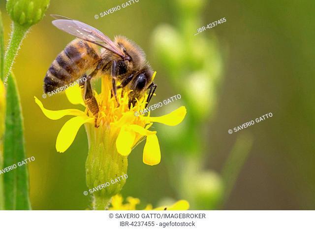 European Honey Bee (Apis mellifera), perched on flower, Campania, Italy